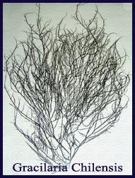 Seaweeds Gracilaria Chilensis